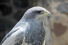 Buzzard-Eagle Nero-chested, melanoleucus di geranoaetus, vicino a Otavalo, l'Ecuador immagini stock