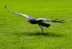 Buzzard-Eagle Nero-Chested vola in basso sopra erba, avvicinantesi ciao immagine stock libera da diritti