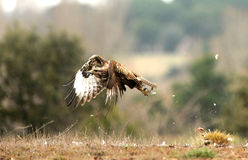Buzzard eagle off the ground Stock Images