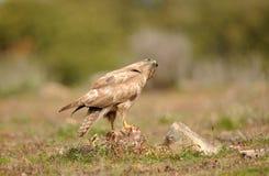 Buzzard eagle one observes the sky Royalty Free Stock Photo