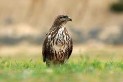 Buzzard eagle perches on the grass Royalty Free Stock Photos