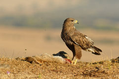Buzzard eagle poses with food in the field Royalty Free Stock Photography