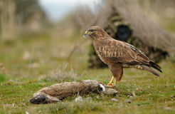 Buzzard eagle with a rabbit and a camera Stock Photography