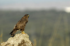 Buzzard eagle watching Royalty Free Stock Image