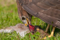Buzzard eating prey Royalty Free Stock Images