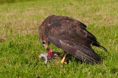 Buzzard eating prey Royalty Free Stock Photo