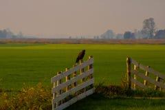 Buzzard en nature photos stock
