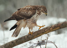Buzzard on a fallen tree Stock Image