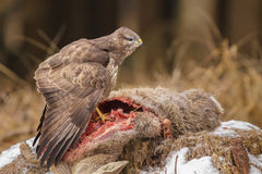 Buzzard feeding upon deer carcass Royalty Free Stock Images