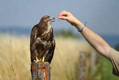 Buzzard feeding Royalty Free Stock Image