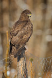 Buzzard on a fence post Royalty Free Stock Images