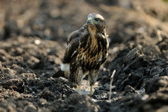 Buzzard in a Field Royalty Free Stock Photography