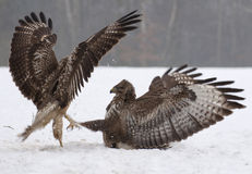 Buzzard fight Royalty Free Stock Image