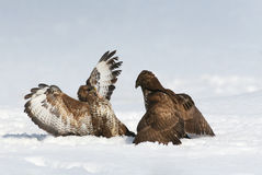 Buzzard fight Stock Images