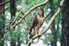 Buzzard is finding a victim. Buzzard is a very hard to observe. It`s a smart kind of bird. Take a look and be proud of this one. Just a spectacular buzzard in stock photos