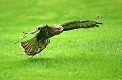 Buzzard in flight 2. The Common Buzzard coming in to Land Royalty Free Stock Photos