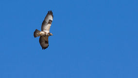 Buzzard in flight Royalty Free Stock Images