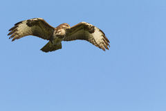 Buzzard in flight Stock Images