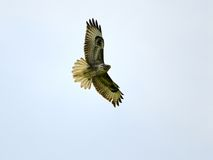 Buzzard flying Royalty Free Stock Images