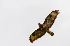 Buzzard flying Stock Photo