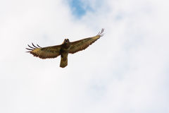 Buzzard flying Royalty Free Stock Photos