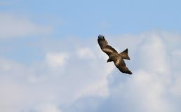 Buzzard flying Stock Photography