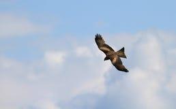 Buzzard flying Stock Photography