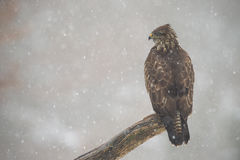 Buzzard through the fog Stock Photo