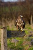Buzzard On Footpath Sign Post Royalty Free Stock Image
