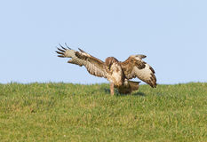 Buzzard grabbing prey Stock Photo