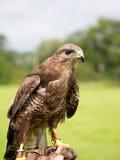 Buzzard on hand. Falconry. Buteo buteo. Royalty Free Stock Image