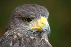 Buzzard harris Royalty Free Stock Image
