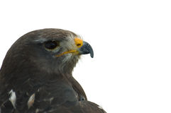 Buzzard Head. An image of an isolated buzzard's head looking towards the right with copy space royalty free stock photo