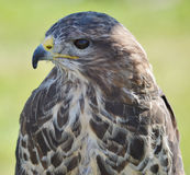 A Buzzard Royalty Free Stock Images