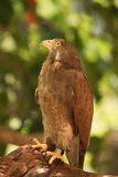 Buzzard hunter bird ,Rufous-winged Buzzard Stock Photos