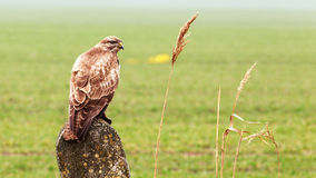 Buzzard is hunting in the wild. Royalty Free Stock Images