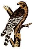 Buzzard Illustration. Buzzard Illustration on a branch Royalty Free Stock Photo