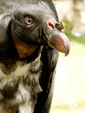 Buzzard king. Close up buzzard king from Parque Zoologico de Leon, Mexico Royalty Free Stock Image