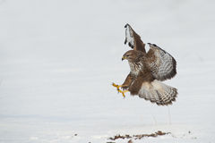 Buzzard landing Royalty Free Stock Image