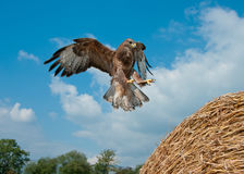 Buzzard landing Royalty Free Stock Photos
