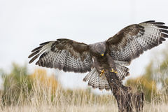 Buzzard Landing on a Tree Stump Royalty Free Stock Images