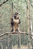Buzzard is looking a victim. Buzzard is a very hard to observe. It`s a smart kind of bird. Take a look and be proud of this one. Just a spectacular buzzard in royalty free stock image