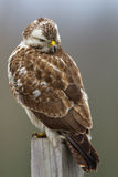 Buzzard looks angry Royalty Free Stock Photography