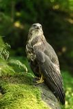 Buzzard on moss Royalty Free Stock Photo