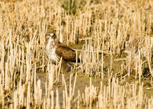 Buzzard on muddy ground Royalty Free Stock Image
