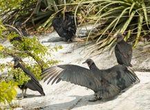 Buzzard nero dal fiume di Grijalva nel Messico Immagini Stock