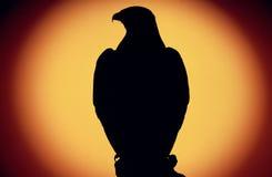 Buzzard no por do sol Fotografia de Stock Royalty Free