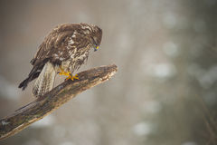 Buzzard on one leg Stock Photo