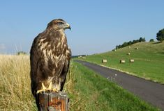 Buzzard par la route Images stock