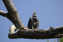 Buzzard perced na filial de árvore Foto de Stock